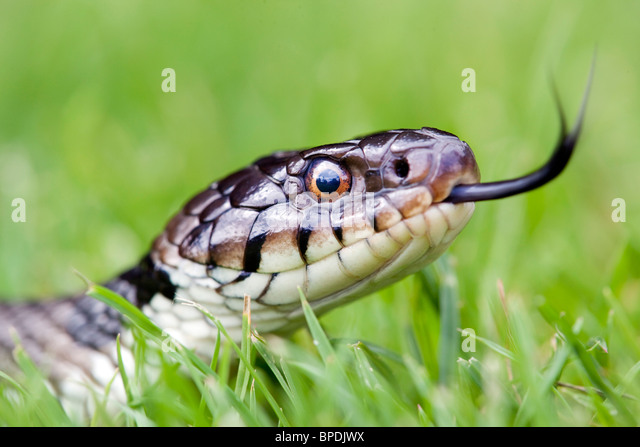 Grass Snake; Natrix natrix; flicking tongue in the grass - Stock-Bilder