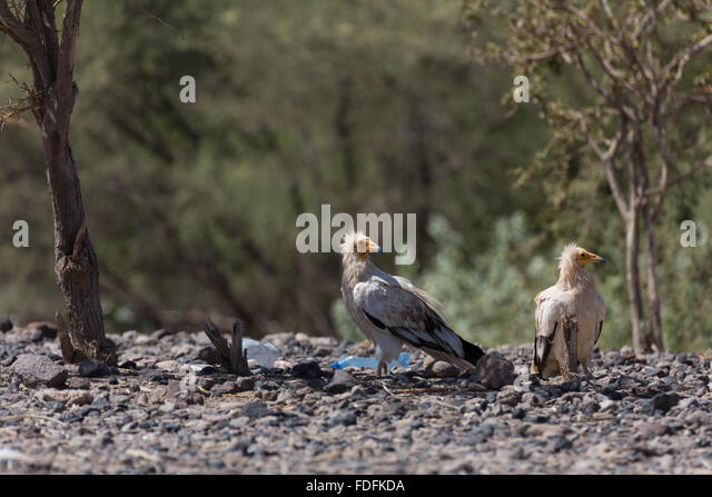 A pair of Egyptian Vultures watch for scraps at a roadhouse in Ethiopia - Stock Image