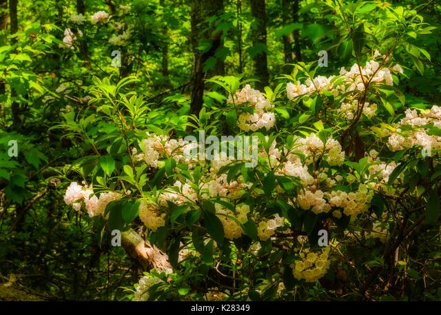 Mountain Laurel  (Orton Effect) on Meigs Creek Trail, Great Smoky Mountains National Park, TN - Stock Image