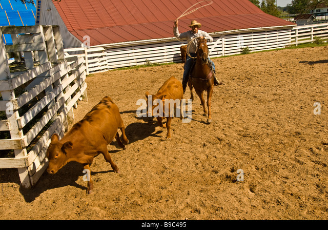 Cowboy rounding up cattle in pen George Ranch Historical Park Houston texas tx  tourist attraction American cowboy - Stock Image