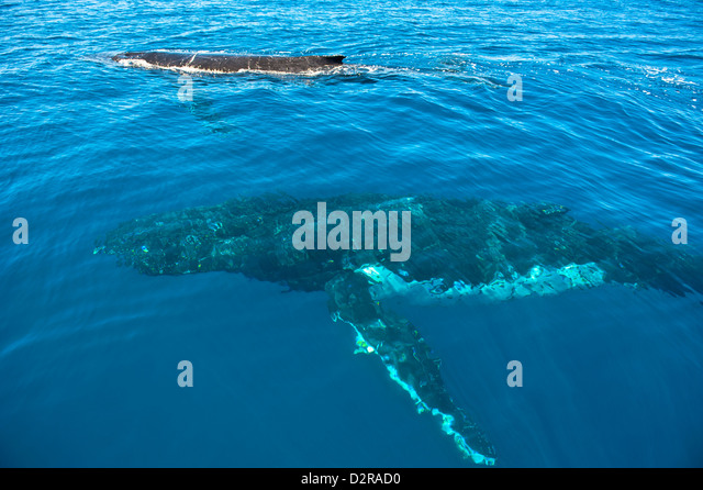 Humpback whale (Megaptera novaeangliae) in Harvey Bay, Queensland, Australia, Pacific - Stock Image
