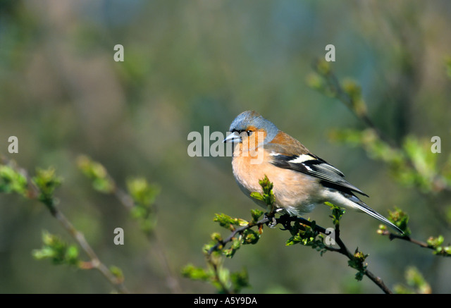 Chaffinch  (Fringilla coelebs) perched on twig with defuse background potton bedfordshire - Stock Image