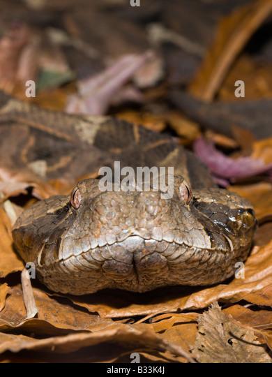 Gaboon Viper Bitis gabonica Gabon West Africa - Stock-Bilder