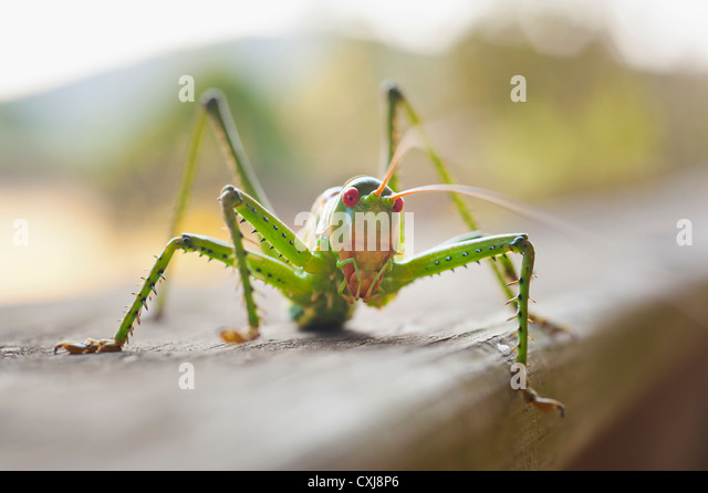 USA, Texas, Close up of grasshopper - Stock Image