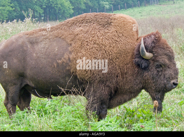 buffalo ranching stock photos buffalo ranching stock. Black Bedroom Furniture Sets. Home Design Ideas