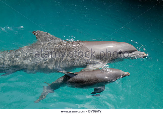 Miami Key Biscayne Florida Miami Seaquarium dolphin mother baby captive - Stock Image
