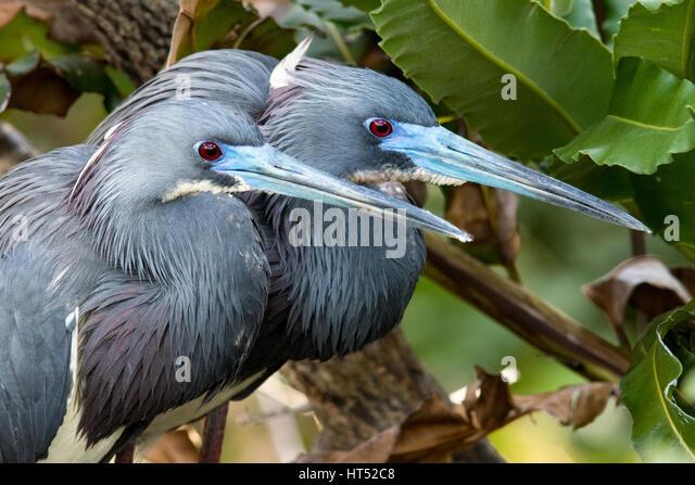 Tri-colored Herons breeding pair - Wakodahatchee Wetlands, Delray Beach, Florida, USA - Stock Image