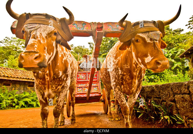 OXEN BULLS pulling colorful hand painted Sarchi Ox Cart, Boyero-Cowboy steering the bulls. La Paz Gardens, Costa - Stock Image