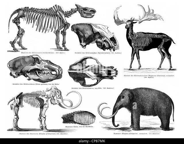 Animals and skeletons form the Pleistocene period, mammoth, giant deer, cave bear, cave hyena, Rinocerus tichorhinus, - Stock Image