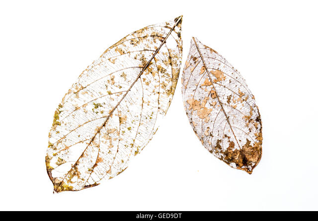 decayed Leaf Skeleton on a white background - Stock Image
