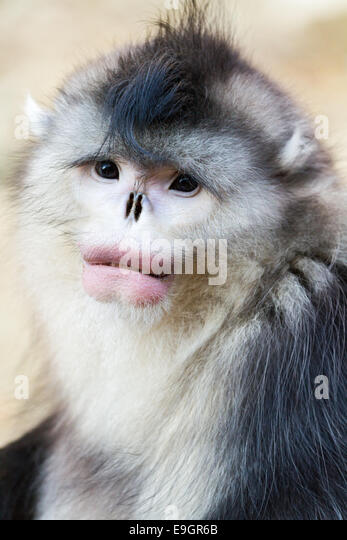 Close-up of an adult male Yunnan snub-nosed Monkey (Rhinopithecus bieti) - Stock Image