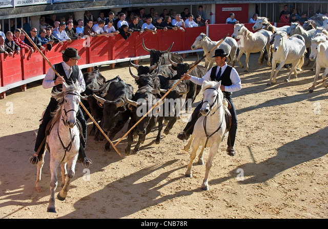 France, Herault, Lunel, Demonstration of handling wild bulls and horses by the gardians, local cowboys, of the Renaud - Stock Image