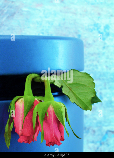 Roses in a rubbish bin - Stock Image