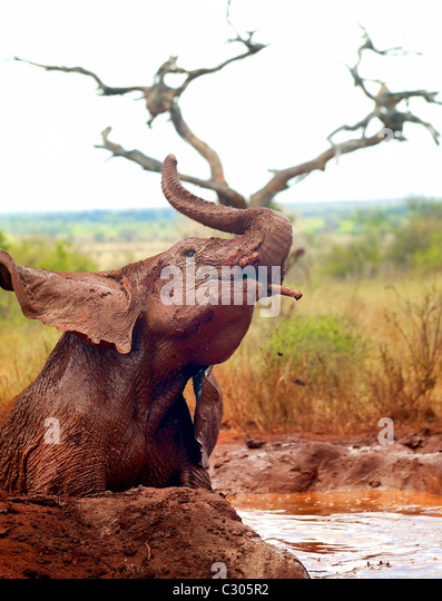 AN  ELEPHANT ENJOYING A MUD BATH. THE FIRST HERD OF ORPHANED ELEPHANTS THAT HAVE BEEN REARED VIA THE SHELDRICK NAIROBI - Stock Image