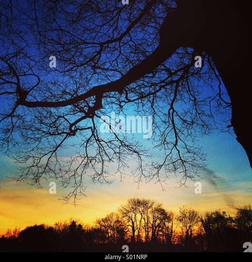 Sunset and oak tree - Stock Image