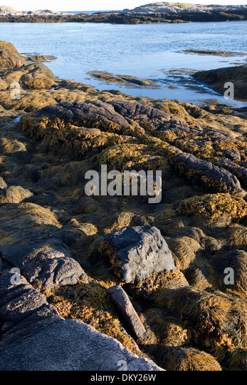 Rockweed on ledge exposed at low tide, Eastern, Maine - Stock Image