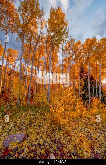 Aspen at sunset, La Sal Mountains, Utah Manti-La Sal National Forest   Quaking aspen,  Populus tremuloides - Stock-Bilder