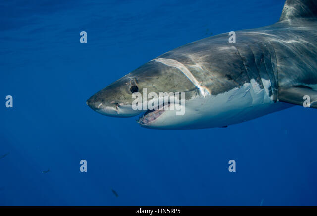 Great White shark, Guadalupe, Mexico - Stock-Bilder