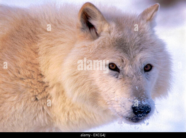 Arctic Wolf watching, portrait closeup - Stock Image