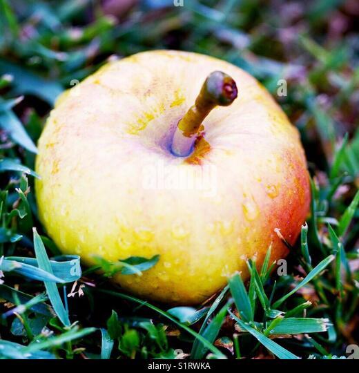 Fallen autumnal Apple - Stock Image