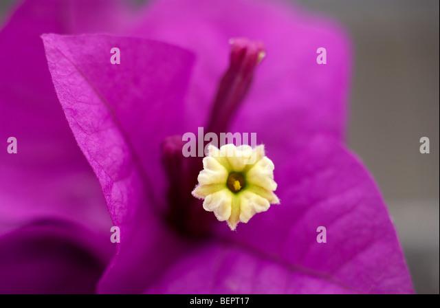Bougainvillea, purple flower, flower, flowers, purple, macro, focus, close-up, close up, stamen - Stock Image