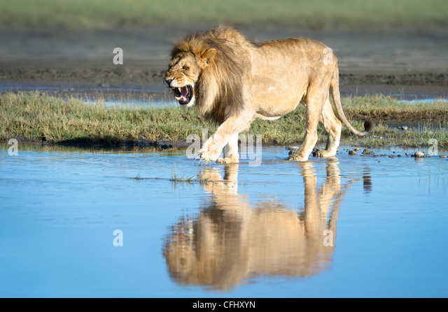 Male African Lion showing reflection at Big Marsh, Ndutu, Serengeti, Tanzania - Stock Image