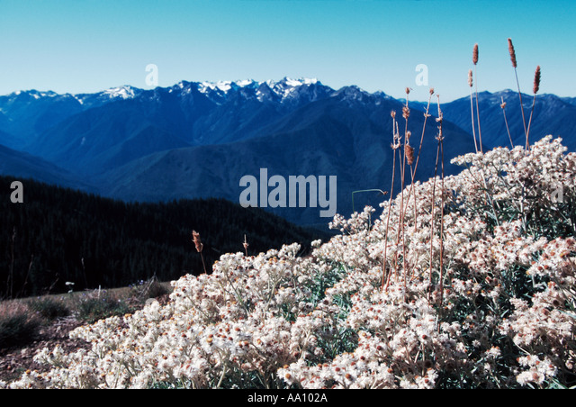A view of Olympic National Park from Hurricane Ridge in Sept Washington COPYRIGHT DUANE BURLESON - Stock Image
