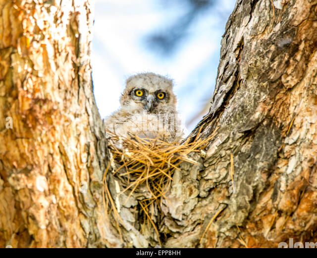 Owls,Great Horned Owls, New Born Owlet perched in cavity nest of pine tree. Boise, Idaho USA - Stock Image