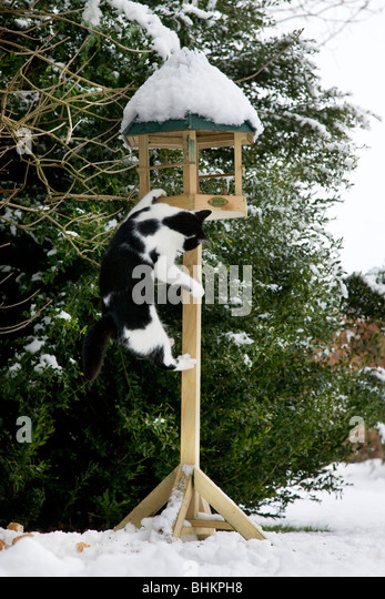 House cat (Felis catus) climbs birdfeeder in garden in the snow in winter - Stock Image