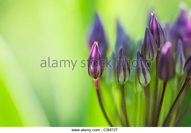 Allium Christophii flower buds. Star of Persia - Stock Image