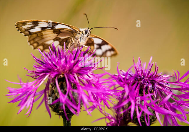 marbled white (Melanargia galathea), on Brown Knapweed, Germany, Hesse - Stock-Bilder