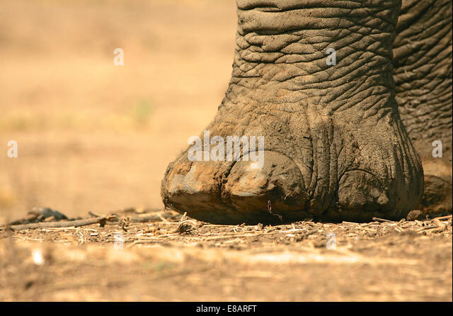 Close up of african elephant (loxodonta africana) foot, Mana Pools National Park, Zimbabwe - Stock Image