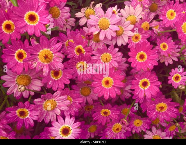 pink daisy - Stock Image