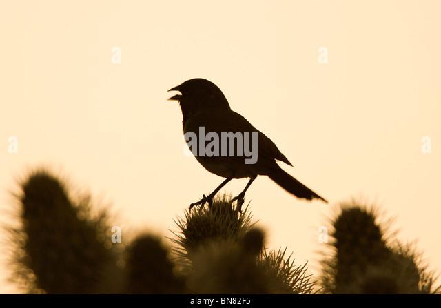 Black throated Sparrow singing on Cholla Cactus - Stock-Bilder