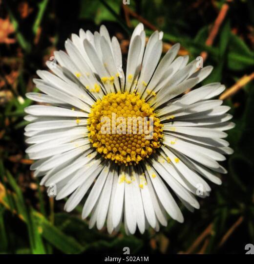 White daisy in Villaluenga del Rosario, Parque Natural Sierra de Grazalema, Sierra de Cadiz, Andalusia, Spain - Stock-Bilder