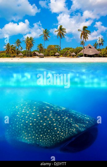 Whale shark below - Stock Image
