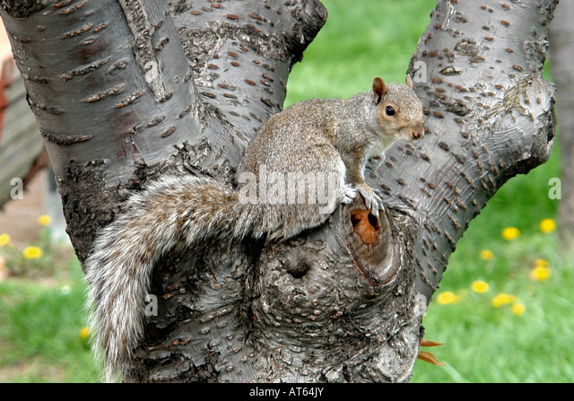 Outdoor Scene of a Squirrel in a Tree - Stock Image