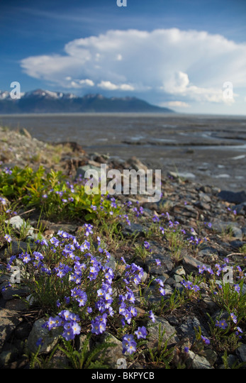 Forget-me-not wildflowers grow on hillside along Turnagain Arm near Anchorage, Alaska - Stock Image