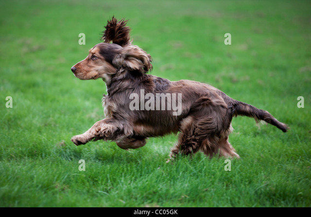 English Cocker Spaniel running in garden - Stock Image