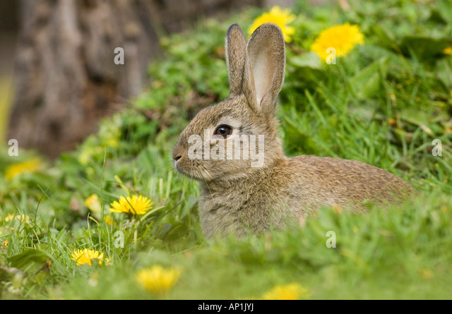 Rabbit Oryctolagus cuniculus young at burrow entrance Norfolk summer - Stock Image