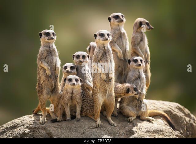Meerkat family on lookout - Stock-Bilder