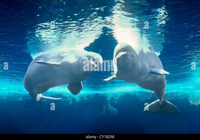 Beluga White Whale, Delphinapterus leucas, Captivity, USA - Stock-Bilder