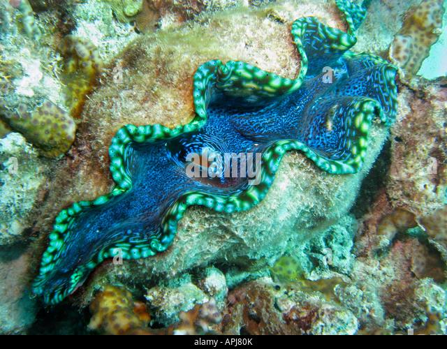 bivalve coral stock photos amp bivalve coral stock images