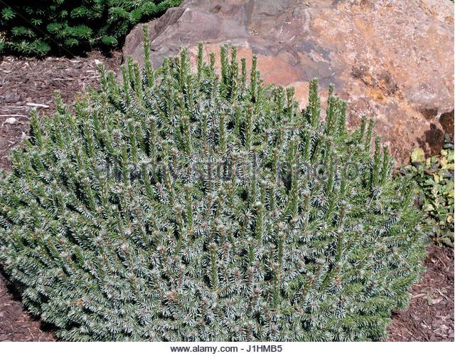 Picea Omorika Stock Photos & Picea Omorika Stock Images