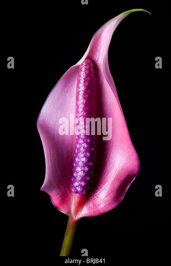 pink lily against black background - Stock Image
