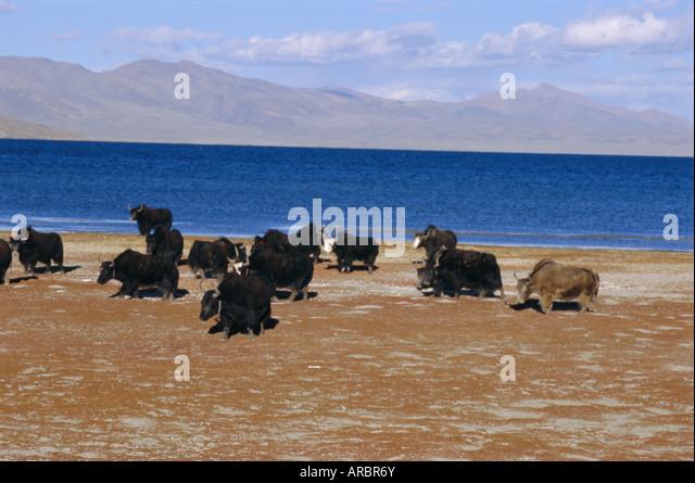 Yak herd on foreshore, sacred lake Manasarovar (Manasarowar), Kailas (Kailash) region, Tibet, China, Asia - Stock Image
