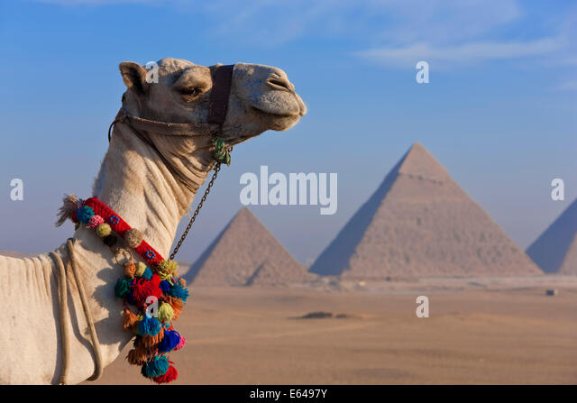 Camels & Pyramids, Giza, Egypt - Stock Image