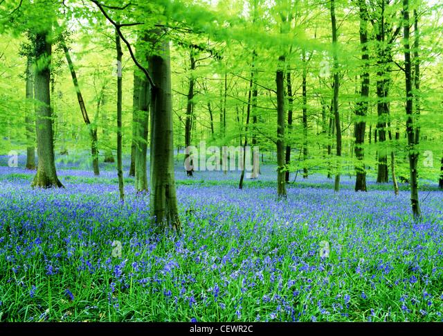 A carpet of bluebells. - Stock-Bilder