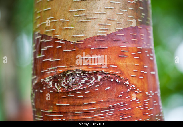 Betula Albosinensis 'Red Panda'. Chinese red birch tree bark - Stock Image