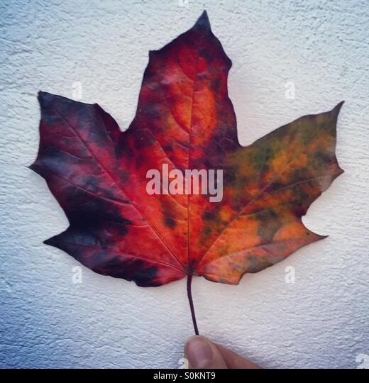 Autumn colours on a fallen leaf - Stock Image
